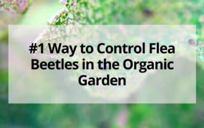 #1 Way to Control Flea Beetles in the Organic Garden