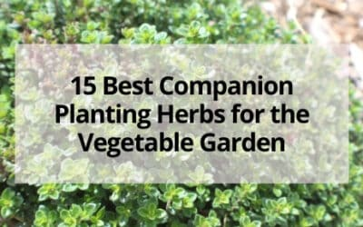 Companion Planting with Herbs in the Vegetable Garden