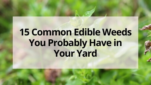 15 Common Edible Weeds You Probably Have in Your Yard