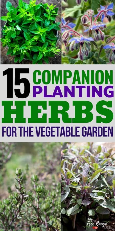 15 companion planting herbs for the vegetable garden with images of marjoram, borage, thyme, and sage