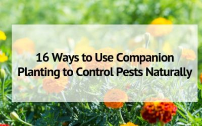 16 Ways to Use Companion Planting for Pest Control Naturally