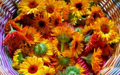 The Many Sides of Calendula