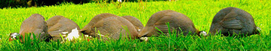 5 Reasons Not to Own Guinea Fowl! They are great for pest control, but guineas have some cons too. Learn from this homesteaders experience with guineas. l