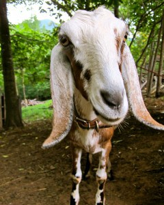 5 Best Dairy Goat Breeds for the Small Farm - The Free Range Life