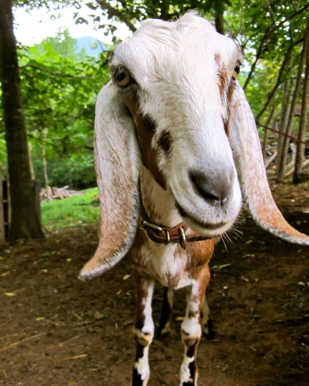 5 best dairy goat breeds for the small farm
