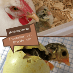 Hatching Chicks: Incubator vs. Broody Hen