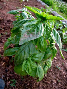 companion planting basil with tomatoes