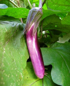 Eggplant Can Be A Fickle Plant To Grow. Read All About Growing Eggplant And  How