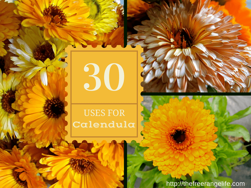 Calendula is a miracle herb with some amazing uses. Learn 30 different uses for calendula- from acne to curing bacterial infections!