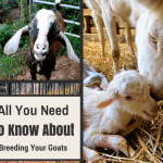 All You Need to Know about Breeding Goats