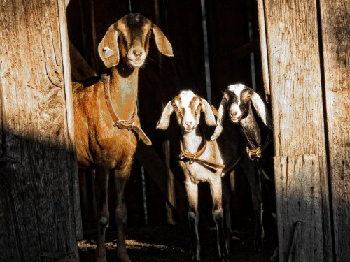 3 goats standing in the door of a barn