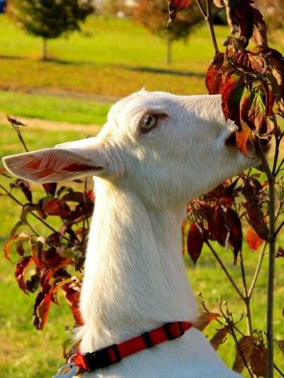 dairy goat breeds- saanen
