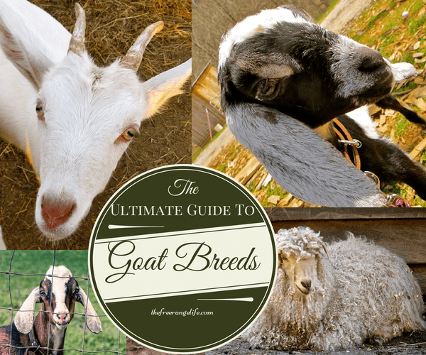 ultimate guide to goat breeds(1)
