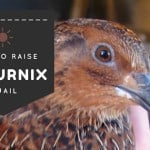 How to Raise Coturnix Quail