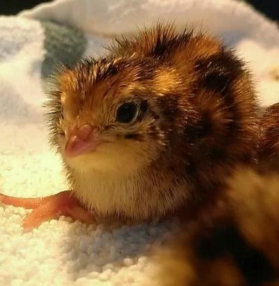coturnix quail chick
