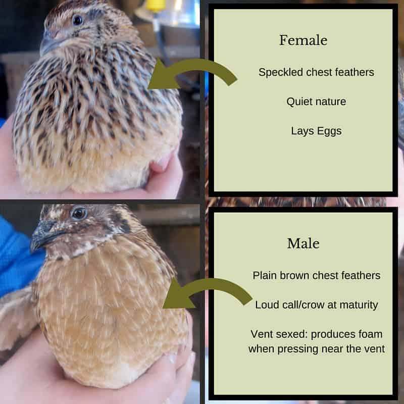 sexing coturnix quail