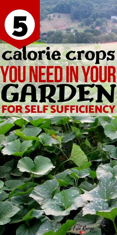 5 calorie crops you need in your garden for self sufficiency