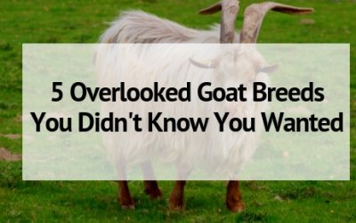 5 Overlooked Goat Breeds You Didn't Know You Wanted
