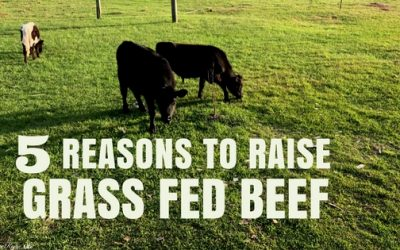 5 Reasons You Need to Raise Grass Fed Beef on Your Homestead
