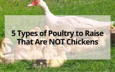 5 Types of Poultry to Raise That Are NOT Chickens