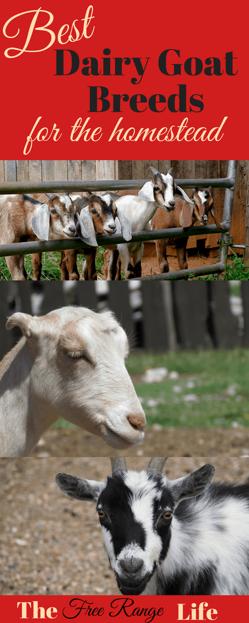 5-best-dairy-goats-for-your-homestead