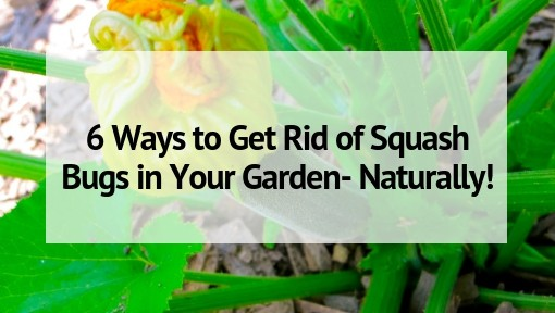 6 ways to get rid of squash bugs in your garden naturally - How to get rid of bugs in garden ...