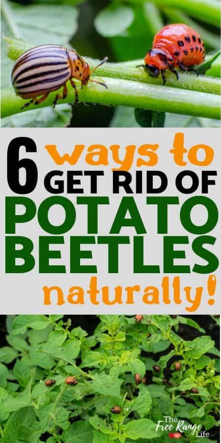 6 ways to get rid of potato beetles naturally