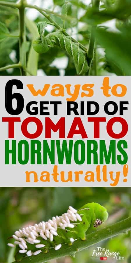 6 ways to get rid of tomato hornworms naturally