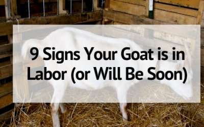 9 Signs Your Goat is in Labor (Or Will Be Soon!)