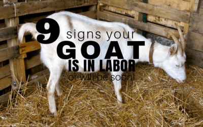 9 Signs Your Goat is in Labor