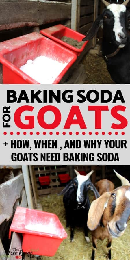 Raising Goats: Learn why you should be providing baking soda for goats; I'll teach you what it is for and how to feed this supplement to your goats.