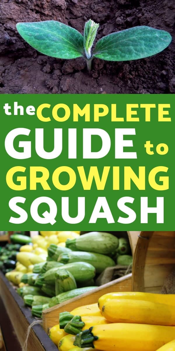Growing squash is one of the easiest and most rewarding crops to grow. Lear everything you need to know about growing squash in your vegetable garden .