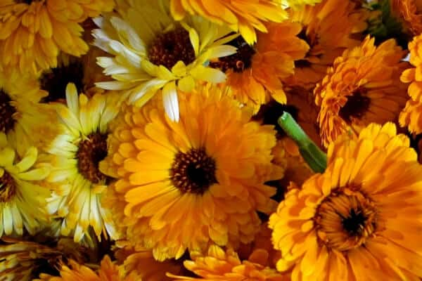 Calendula -benefits and uses - fresh flowers