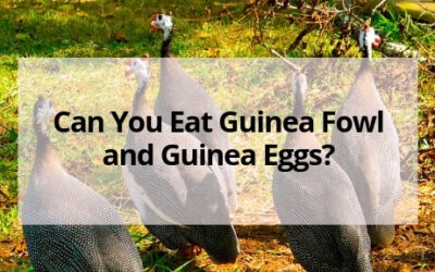 Can You Eat Guinea Fowl and Guinea Eggs?