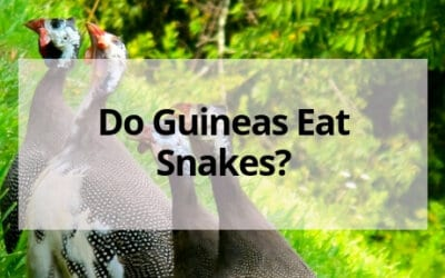 Do Guineas Eat Snakes?