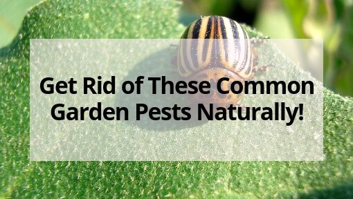 Get rid of these common garden pests naturally the free - How to get rid of bugs in garden ...