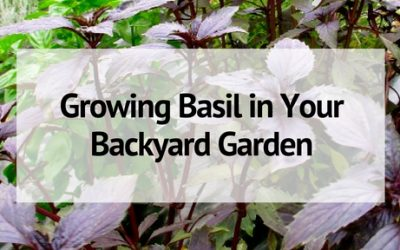 Growing Basil in Your Backyard Garden