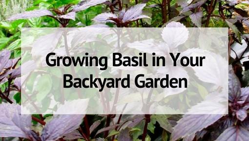 Growing Basil in Your Backyard Garden