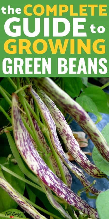 Growing green beans in the garden is simple for beginning gardeners. Learn all about how to grow beans from seed to harvest!