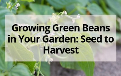 Growing Green Beans in Your Garden: Seed to Harvest