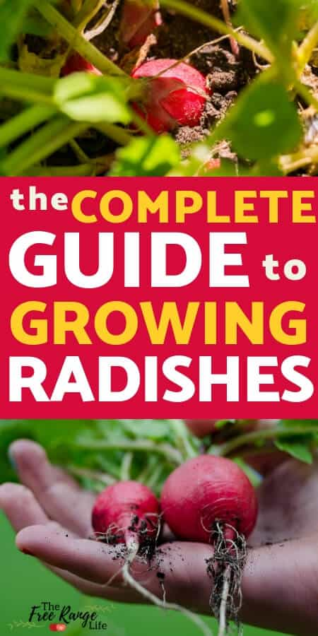 Vegetable Gardening for Beginners: Growing radishes in the garden is great for all gardening levels. Learn how to grow radishes from seed to harvest.