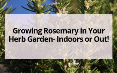Growing Rosemary in Your Herb Garden- Indoors or Out!