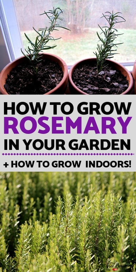 gardening: Rosemary is an aromatic, evergreen herb that is a staple of any herb garden. Learn everything you need to know about growing rosemary in your garden or home!