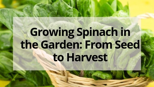 Growing Spinach in the Garden: From Seed to Harvest