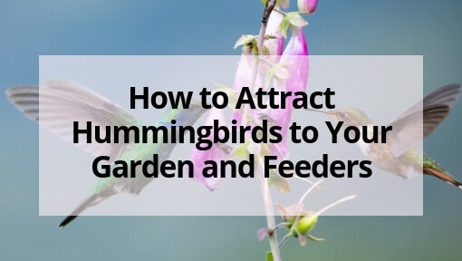 How to Attract Hummingbirds to Your Garden and Hummingbird Feeders
