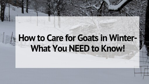 How to Care for Goats in Winter- What You NEED to Know!