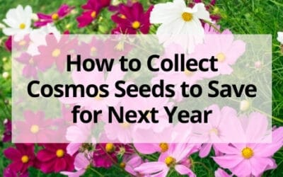 How to Collect Cosmos Seeds to Save for Next Year