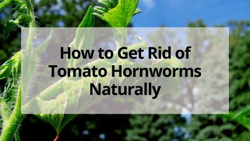 How to Get Rid of Tomato Hornworms Naturally