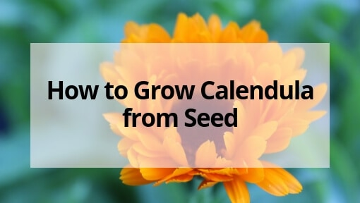 How to Grow Calendula from Seed