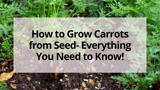 How to Grow Carrots from Seed- Everything You Need to Know!